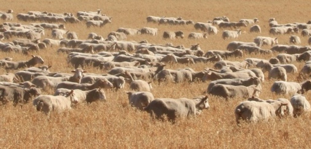 Sheep at Kendenup