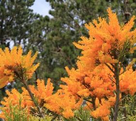 WA Christmas Tree - Nuytsia Floribunda