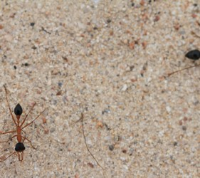 Two Inch Ants